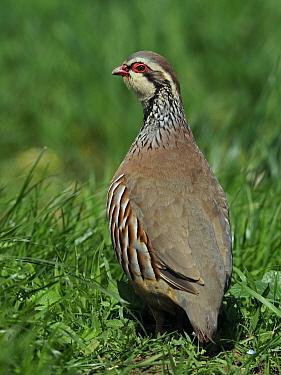 Red-legged partridge (Alectoris rufa) Looking back over shoulder, Hertfordshire, England, UK, May