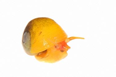 Flat periwinkle (Littorina obtusata), yellow form from Atlantic Ocean. Cornwall, England, UK. September.