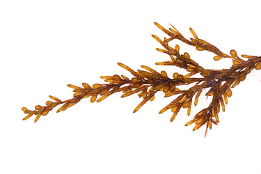 Japanese wireweed (Sargassum muticum), invasive non-native species in Atlantic Ocean. Cornwall, England, UK. September.