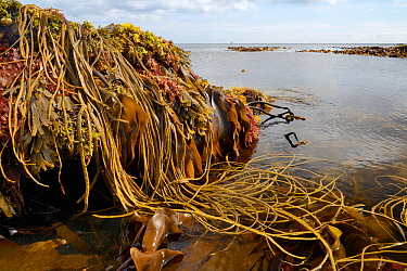 Seaweeds including Thongweed / Sea thong (Himanthalia elongata), Tangleweed kelp (Laminaria digitata), Toothed wrack (Fucus serratus) and Dulse (Palmaria palmata). Exposed on rocky shore on low spring...