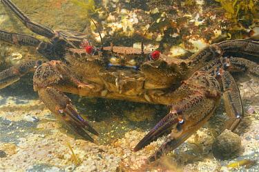 Velvet swimming crab (Necora puber) in rockpool. Near Falmouth, Cornwall, England, UK. September.