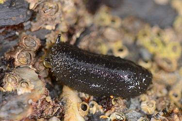 Celtic sea slug (Onchidella celtica) crawling over rock exposed on low spring tide. Cornwall, England, UK. September.