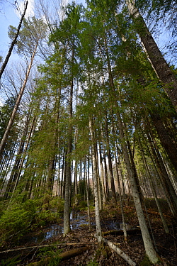 Mixed wet woodland including Aspen (Populus tremula) and Downy birch (Betula pubescens). Inhabited by rare surviving Siberian flying squirrel (Pteromys volans) population. Near Lisaku, Estonia. April...