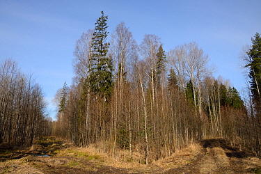 Mixed wet woodland including Aspen (Populus tremula) and Downy birch (Betula pubescens). Inhabited by a surviving population of Siberian flying squirrel (Pteromys volans). Near Lisaku, Estonia. April...