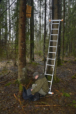 Researcher using laptop to check trailcam footage of Siberian flying squirrel (Pteromys volans) nest box in mature mixed forest. Near Lisaku, Estonia. April 2018. Model released.