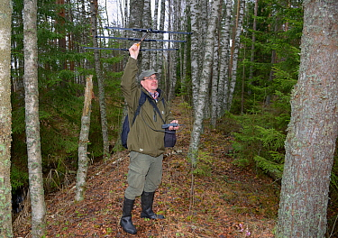 Researcher radiotracking Siberian flying squirrel (Pteromys volans) in mature mixed forest. Muraka Forest Reseve, near Lisaku, Estonia. April 2018.