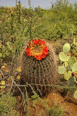 Fishhook barrel cactus (Ferocactus wislizeni) flowering besides Prickly pear (Opuntia sp), in desert. Arizona.