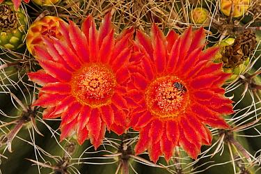 Fishhook barrel cactus (Ferocactus wislizeni), two flowers with bee pollinating. Arizona.