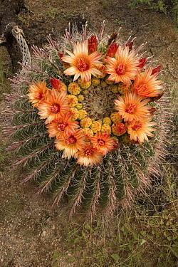 Fishhook barrel cactus (Ferocactus wislizeni) flowering. Arizona.