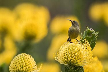Orange-breasted sunbird (Anthobaphes violacea) female on Leucospermum cordifolium 'Yellow Bird' Kirstenbosch National Botanical Garden, Cape Town, South Africa, September