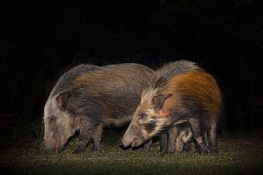 Bush pigs (Potamochoerus larvatus) at night, Mpila camp, iMfolozi game reserve, KwaZulu-Natal, South Africa, September
