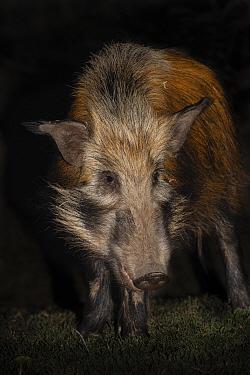 Bush pig (Potamochoerus larvatus) at night, Mpila camp, iMfolozi game reserve, KwaZulu-Natal, South Africa, September