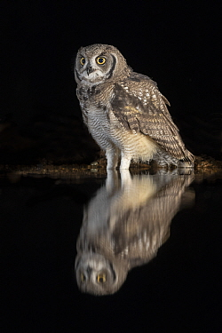 Spotted eagle owl (Bubo africanus) subadult at nigh by water, Zimanga private game reserve, KwaZulu-Natal, South Africa, September