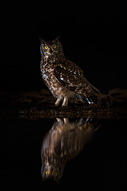 Spotted eagle owl (Bubo africanus) at night, Zimanga private game reserve, KwaZulu-Natal, South Africa, September