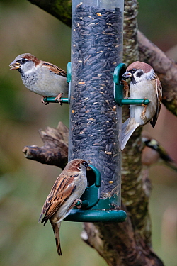 House sparrows (Passer domesticus) and tree sparrow (Passer montanus) (right), Caerlaverock WWT, Dumfries & Galloway, Scotland, UK, October