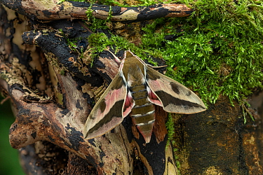 Spurge hawk-moth (Hyles euphorbiae) male, Dnipro City, Ukraine. November.