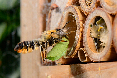 Leafcutter / Rose-cutter bee (Megachile willughbiella) carrying a circular section of a Rose leaf it has just cut to its nest in a Bamboo tube in an insect hotel, Wiltshire, UK, July.
