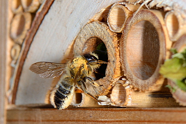 Leafcutter / Rose-cutter bee (Megachile willughbiella) lands at its nest in a Bamboo tube in an insect hotel to provision it with pollen carried on the long hairs under its abdomen, Wiltshire, UK, Jul...