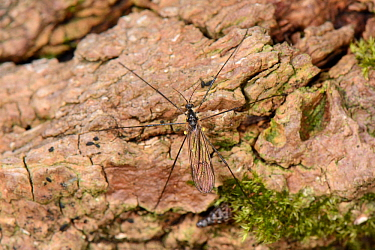 Limonid cranefly (Gnophomyia viridipennis) a nationally scarce fly of ancient woodland standing on the bark of a recently logged Poplar tree. Grubs of this species feed comunally on fungi under the ba...