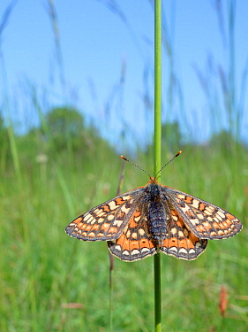 Marsh fritillary butterfly (Euphydryas aurinia) sunning on grass stem in a chalk grassland meadow, Wiltshire, UK, May.