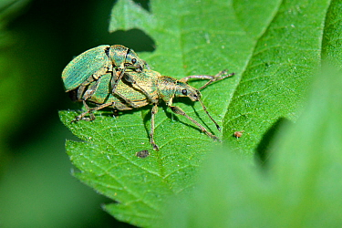 Green nettle weevils (Phyllobius pomaceus) mating on a Common nettle (Urtica dioica) leaf, Wiltshire, UK, May.