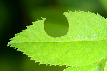 Rose leaf (Rosa sp.) with circle cut out by a Leafcutter / Rose-cutter bee (Megachile willughbiella) for its nearby nest, Wiltshire garden, UK, July.