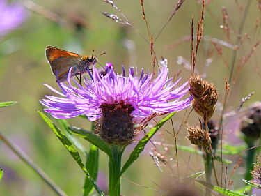 Small skipper butterfly (Thymelicus sylvestris) nectaring on a Greater knapweed flower (Centaurea scabiosa) in a meadow, Green Lane Wood, Wiltshire, UK, July.