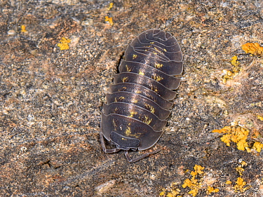 Southern pill woodlouse (Armadillidium depressum) on an old garden wall at night, Wiltshire, UK, September.