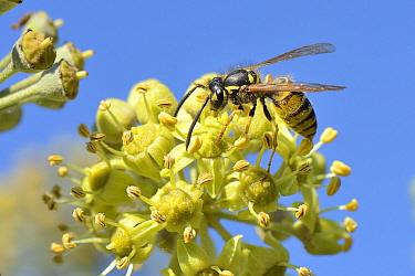 Common wasp (Vespula vulgaris) nectaring on Ivy flowers, Wiltshire garden, UK, September.