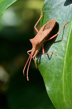 Box bug (Gonocerus acuteangulatus) on Ivy leaves in a garden, Wiltshire, UK, September. This nationally endangered bug is spreading northwest from its former toehold in southeast UK, originally on Box...