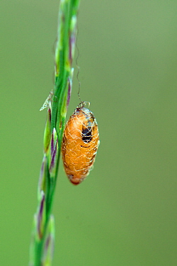 Basket cocoon parasitoid (Meteorus sp.) cocoon hanging from a grass stem in boggy heathland, Studland, Dorset, UK, July.