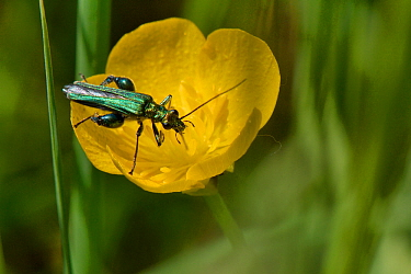 Male Thick-legged / Swollen-thighed flower beetle (Oedemera nobilis) feeding on nectar and pollen on a Meadow buttercup (Ranunculus acris) flower, England, UK. May.