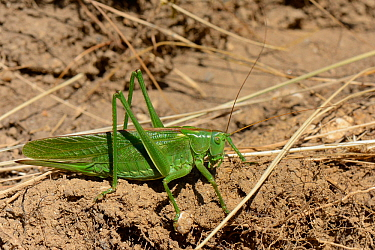Great green bush-cricket (Tettigonia viridissima) on roadside verge, Corfe Castle, Dorset, UK, July.