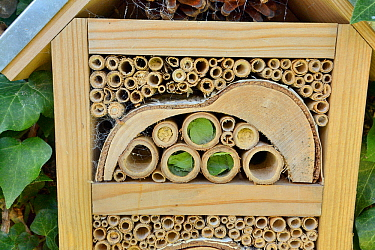 Recently completed Leafcutter / Rose-cutter bee (Megachile willughbiella) and Potter wasp (Ancistrocerus sp.) nests in Bamboo tubes in an insect hotel, Wiltshire, UK, July.