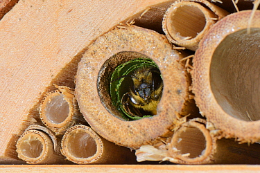 Leafcutter / Rose-cutter bee (Megachile willughbiella) emerging from its nest in a Bamboo tube in an insect hotel, Wiltshire, UK, July.