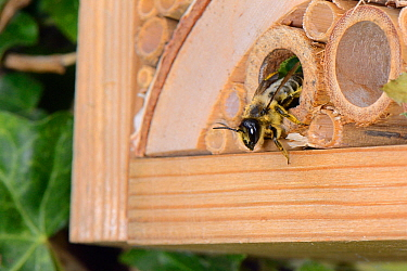 Leafcutter / Rose-cutter bee (Megachile willughbiella) emerging from its nest in a Bamboo tube in an insect hotel after provisioning it with pollen, Wiltshire, UK, July.