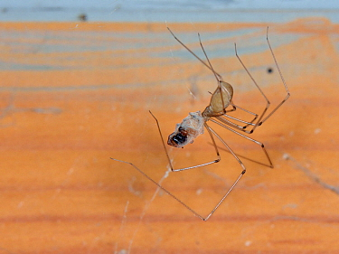 Longbodied cellar spider / Daddly longlegs spider (Pholcus phalangioides) hanging on its web in an outhouse and feeding on a House spider (Tegenaria sp.) it has killed and wrapped in silk, Somerset, U...
