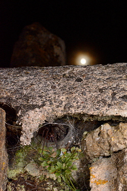 House spider (Tegenaria sp.) female at the mouth of her tubular silk retreat in an old stone wall with the moon in the background, Wiltshire, UK, September.
