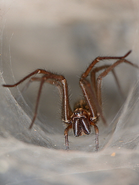 Female House spider (Tegenaria sp.) at the mouth of her tubular silk retreat in an old stone wall, Somerset, UK, September.