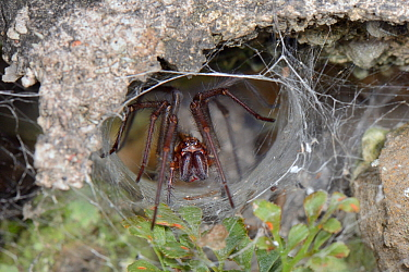 Female House spider (Tegenaria sp.) at the mouth of her tubular silk retreat in an old stone wall, Wiltshire, UK, September.