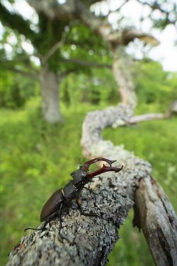 Stag beetle (Lucanus cervus) male on lichen covered branch. Oland, Gotland, Sweden. June.