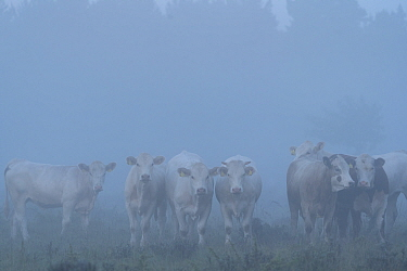 Cattle herd in fog, Oland, Gotland, Sweden. June.