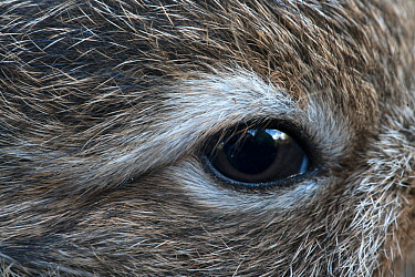 Mountain hare (Lepus timidus) leveret, close-up of eye. Lofoten Islands, Norway. August.