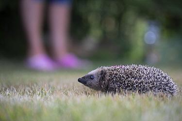 Hedgehog (Erinaceus europaeus) at rehabilitation centre. Ski, Akershus, Norway. July.