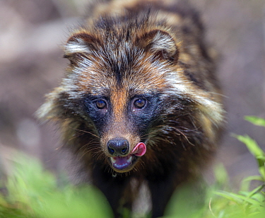 Raccoon dog (Nyctereutes procyonoides) licking lips, portrait. Danube Delta, Romania. May.