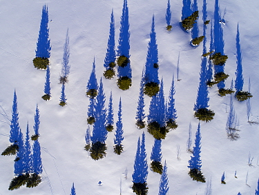 Scattered conifers with long shadows in snow, aerial shot. Golsfjell, Norway. March 2018.