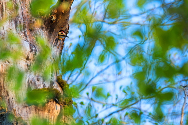 Lilford's white-backed woodpecker (Dendrocopos leucotos lilfordi) peering from its nest built in ancient old-growth Beech (Fagus sylvatica) forest tree, Abruzzo, Lazio and Molise National Park / P...