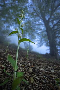 White helleborine orchid (Cephalanthera rubra) in old-growth Beech (Fagus sylvatica) forest. Abruzzo, Lazio and Molise National Park / Parco Nazionale d'Abruzzo, Lazio e Molise UNESCO World Herita...