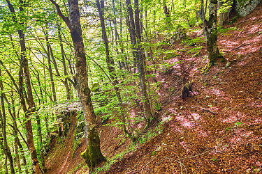 Marsican / Apennine brown bear (Ursus arctos marsicanus) walking on a trail through old-growth Beech (Fagus sylvatica) forest trees. Critically endangered subspecies. Abruzzo, Lazio and Molise Nationa...