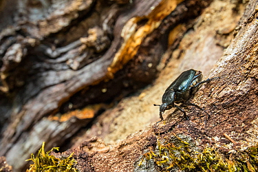 Hermit beetle (Osmoderma eremita) male in decaying wood of old-growth Beech (Fagus sylvatica) forest tree. Endangered species. UNESCO World Heritage Site. Abruzzo, Lazio and Molise National Park, Ital...